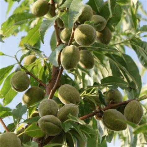 almond fruit tree almond tree fruits vegetables