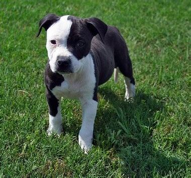 black pitbull puppies white and black pit bull pic jpg 2 comments