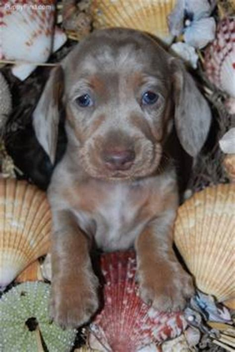 free puppies los angeles dapple smooth miniature dachshund los angeles usa free classifieds