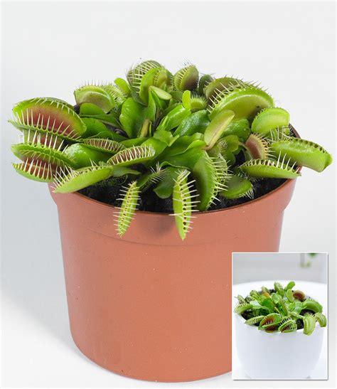 pflanzen kaufen fleischfressende pflanze quot venusfliegenfalle quot 1 pflanze