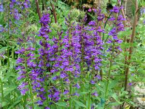Plant Of The Month Club Lobelia Vedrariensis
