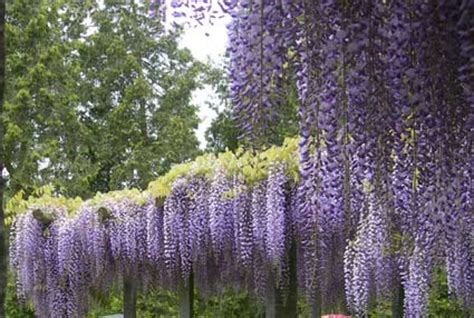 fiore lilla molto profumato ricante fiori e foglie