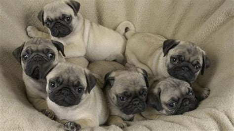 how many puppies can a pug 19 puppy litters that are beyond adorable