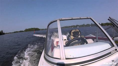 dog driving boat video pug drives a boat youtube