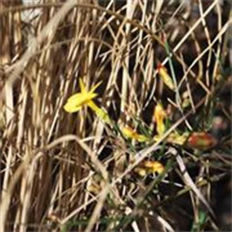 cura gelsomino in vaso gelsomino ricante piante da giardino le
