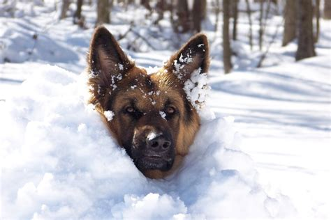 dogs ears cold running with dogs in cold weather paws the trupanion