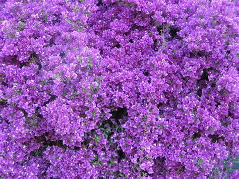 Bougenville Violet bougainvillea violet pot plant for sale buy for 163 5 99