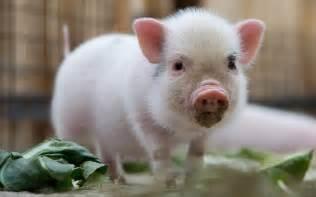 micro pig scientia
