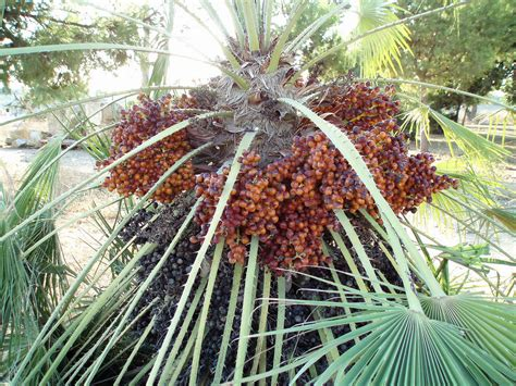 how to grow dates from how to grow date trees from a seed garden guides