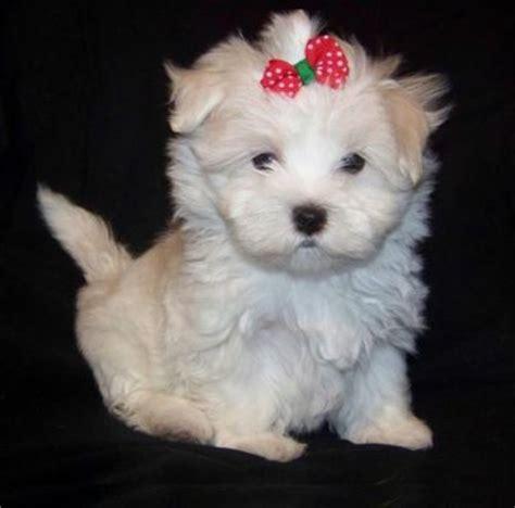teacup maltese puppies for adoption akc reg adorable x teacup maltese puppies for adoption