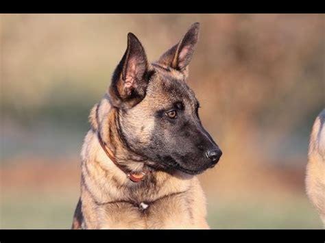4 week puppy development malinois puppy 12 weeks 4 doovi