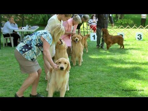 southern golden retriever display team 2017 southern golden retriever display team crufts 2016 funnydog tv
