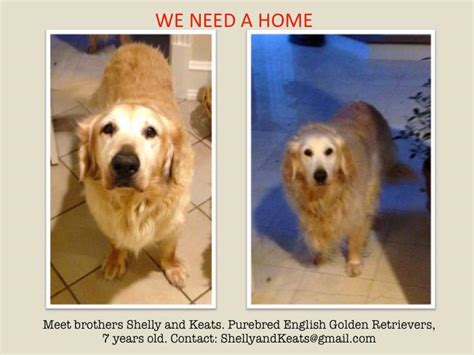 golden retrievers needing homes two 7 year golden retrievers need a home