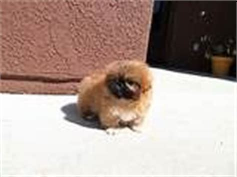 teacup pekingese puppies for sale 1000 images about teacup pekingese puppies on pekingese puppies