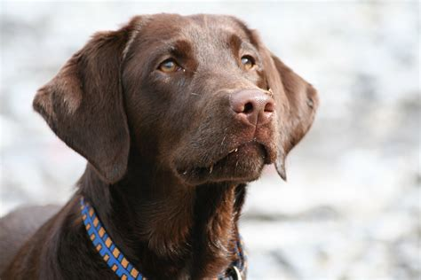 alt deutsche hutte hond kostenlose foto welpe tier haustier portr 228 t braun
