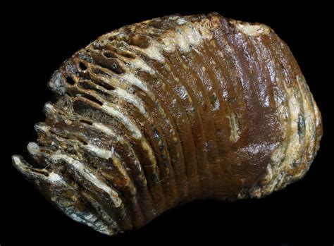 fishing for fossils in the north sea the lost world of doggerland 7 6 quot lower jaw m2 mammoth molar north sea for sale
