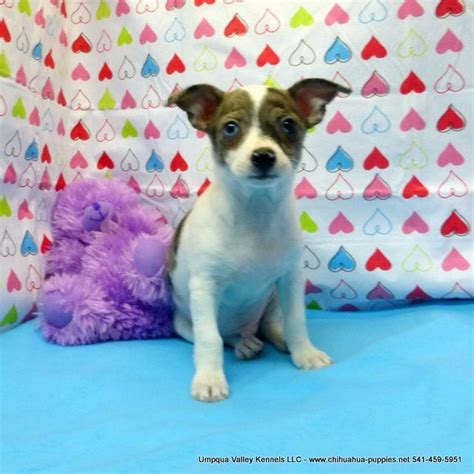 chihuahua puppies for sale mn best 25 chihuahua breeders ideas on teacup chihuahua teacup chihuahua