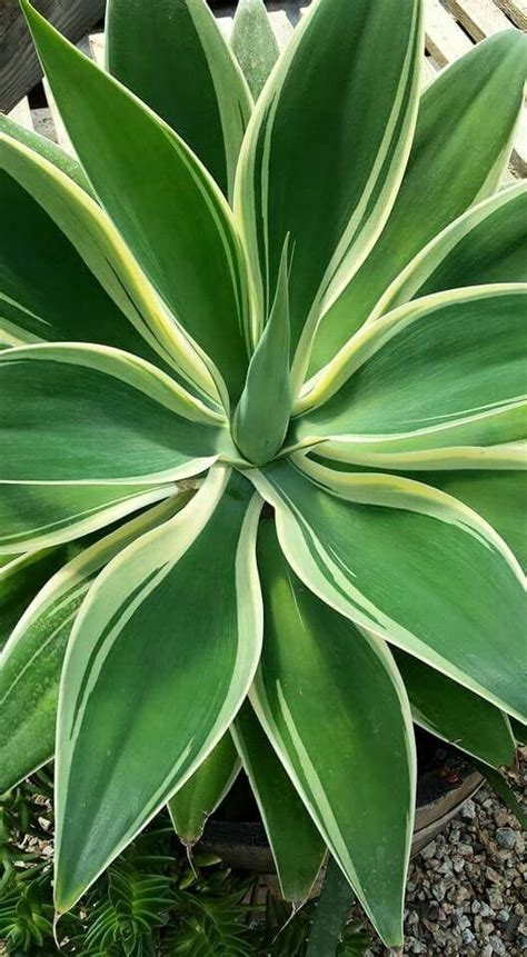agave of light agave of light succulents agaves and