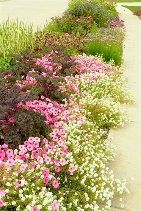 petunia border lovely garden dreams pinterest