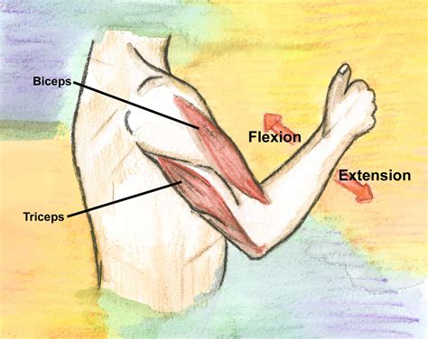 triceps diagram the neurological examination dermatomes myotomes