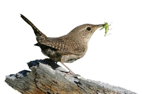 house wren food wren png transparent wren png images pluspng