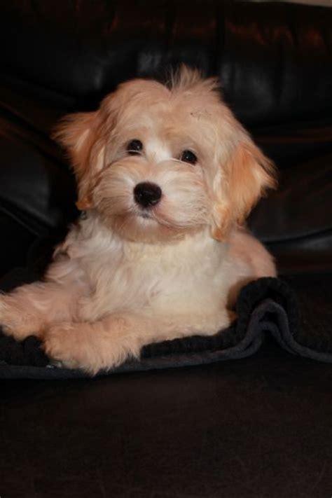 havanese breeders australia best 25 havanese grooming ideas only on havanese puppies happy