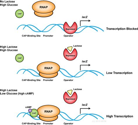 r protein operon the gallery for gt lac operon iptg