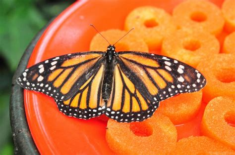 monarch butterfly nectar free image on 4 free photos