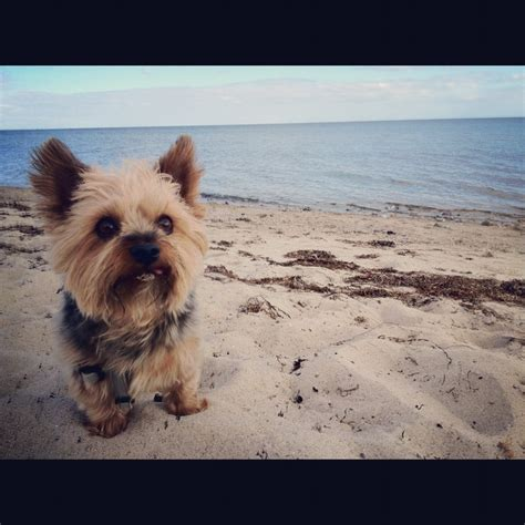 best yorkie shoo 90 best images about yorkies on swim surfers and yorkie