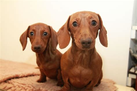 mini weiner kc smooth mini dachshund chelmsford essex pets4homes