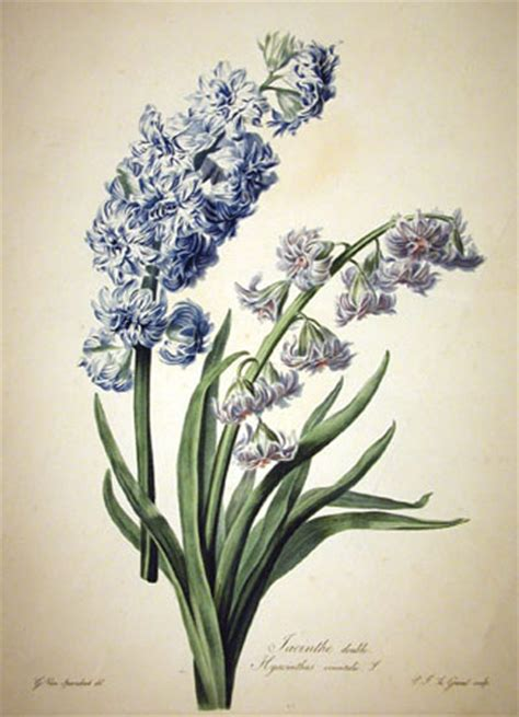 hyacinth pictures pics images and photos for inspiration