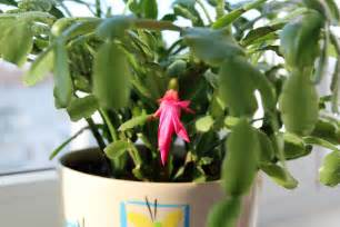 thanksgiving cactus information learn about thanksgiving