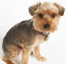 haircuts for poodle terrier mix pinterest the world s catalog of ideas