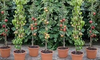 mini fruit trees patio pillar fruit trees groupon