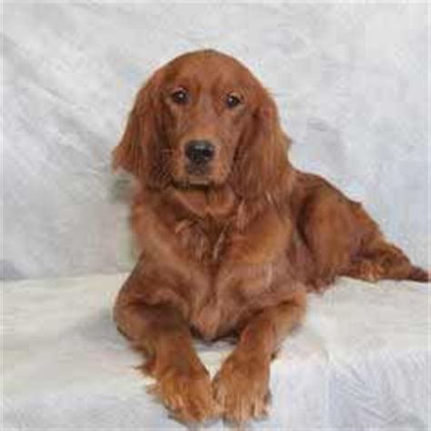 golden retriever exercise requirements golden breed 187 information pictures more