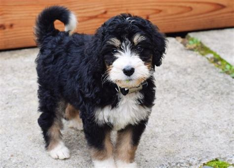 bernese mountain and poodle tri color bernedoodle puppy half bernese mountain half standard poodle