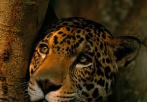 Wwf Jaguar Jaguars Wwf