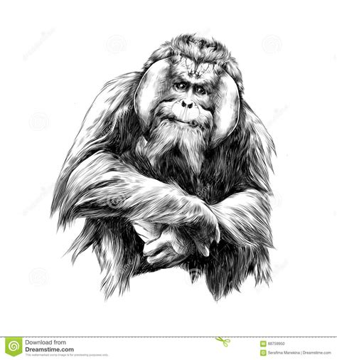 Outline Drawing Orangutan by Growths Illustrations Vector Stock Images 31 Pictures To From