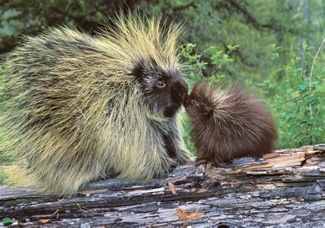 Porcupine L by Porcupine Family Notecard