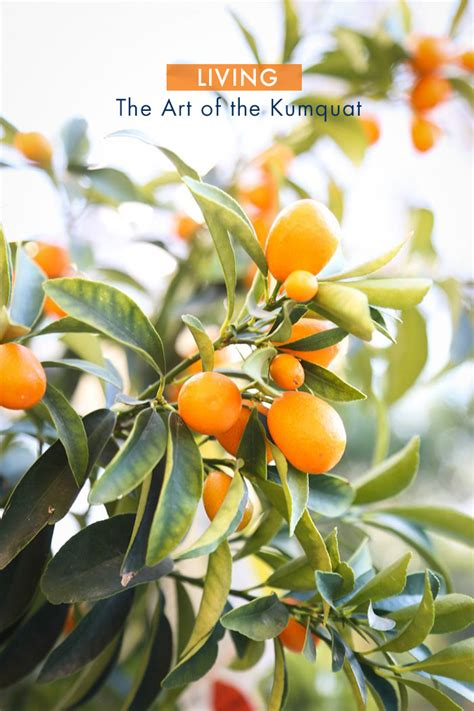 new year lime tree the of the kumquat
