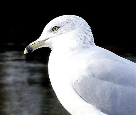 17 best images about seagulls on pinterest the seagull
