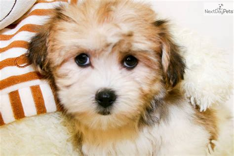 havanese puppies for adoption pin havanese puppies adoption image search results on