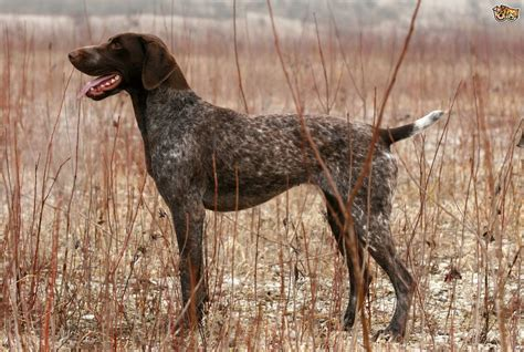 pointer breeds german shorthaired pointer breed information buying advice photos and facts