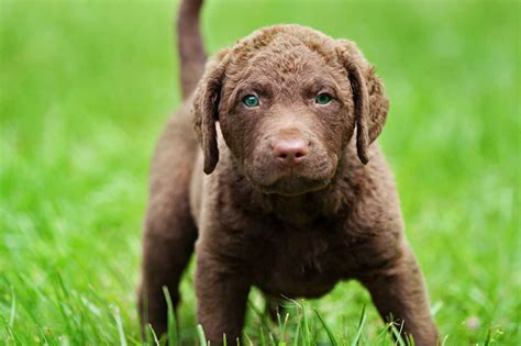 Chesapeake Bay Retriever Shed by Chesapeake Bay Retriever Facts Pictures Puppies