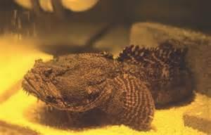 Fish Index: Oyster Toadfish (Opsanus tau)