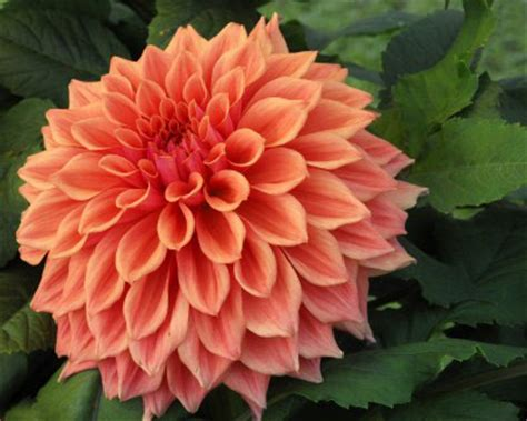 photos of colombia flowers dahlia top 11 most beautiful flowers in the world