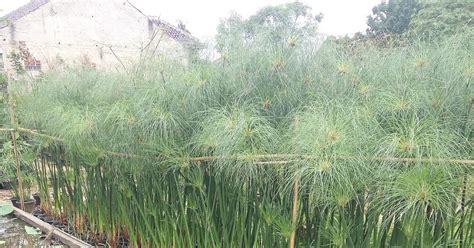 pohon papyrus tanaman hias air jual pohon papyrus