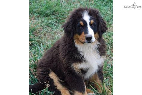 bernese mountain puppy for sale near sioux city iowa be7a5dfc c661 dakotawindstar bernese mountain dogs bernese mountain puppy for sale near sioux