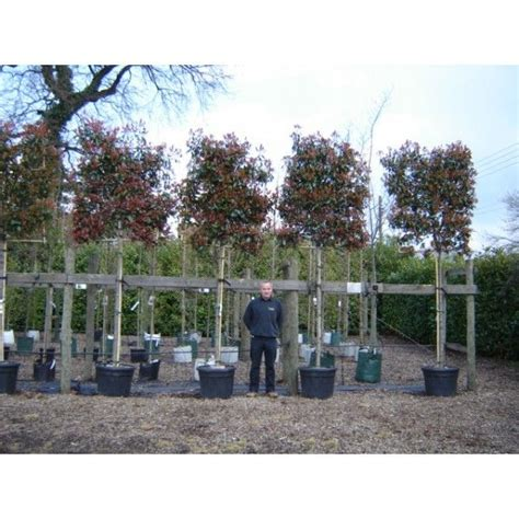 Photinia Robin 21 by 25 Best Ideas About Robin Tree On