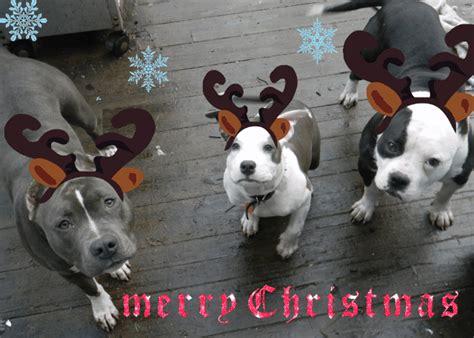 christmas pitbull wallpaper wallpapersafari